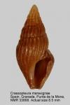 Crassopleura maravignae