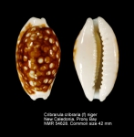 Cribrarula cribraria