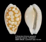 Cribrarula cribraria gaspardi