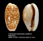 Cribrarula esontropia cribellum