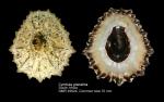 Cymbula granatina