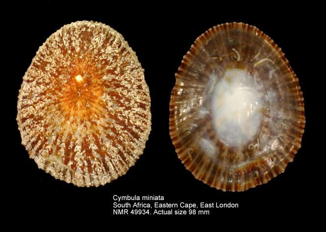 Cymbula miniata