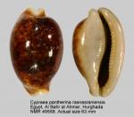 Cypraea pantherina rasnasraniensis