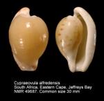 Cypraeovula alfredensis