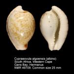 Cypraeovula algoensis