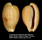 Cypraeovula capensis gonubiensis