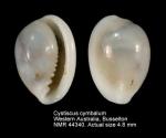 Cystiscus cymbalum