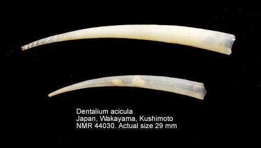 Dentalium aciculum