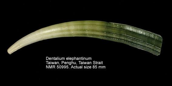 Dentalium elephantinum