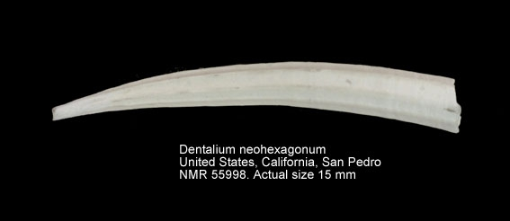 Dentalium neohexagonum