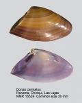 Donax carinatus