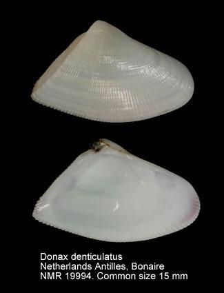 Donax denticulatus