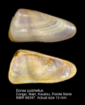 Donax pulchellus