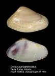 Donax punctatostriatus