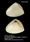 Donax semisulcatus