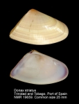 Donax striatus