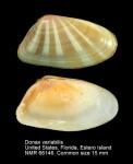 Donacidae