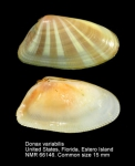 Donax variabilis