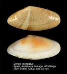 Donax variegatus