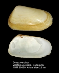 Donax veruinus