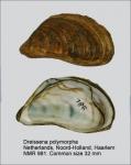 Dreissena polymorpha