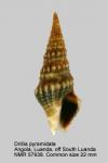 Drilliidae