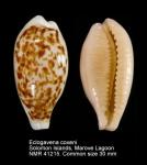 Eclogavena coxeni