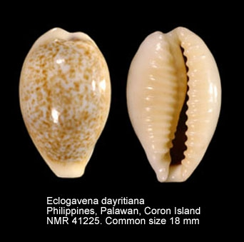 Eclogavena dayritiana