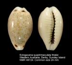 Eclogavena quadrimaculata thielei