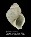 Elachisinidae