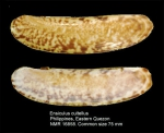Ensiculus cultellus