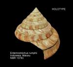 Entemnotrochus rumphii