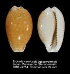 Erosaria cernica