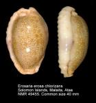 Erosaria erosa chlorizans