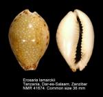 Erosaria lamarckii