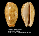 Erosaria macandrewi