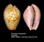 Erosaria marginalis