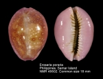 Erosaria poraria