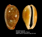 Erosaria spurca