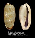 Erronea cylindrica