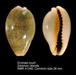 Cypraeidae