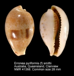 Erronea pyriformis