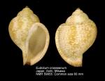 Eudolium crosseanum