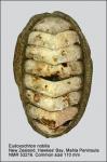 Eudoxochiton (Eudoxochiton) nobilis