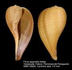 Ficus papyratia lindae