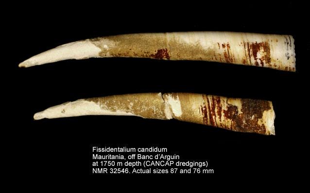 Fissidentalium candidum