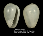 Cystiscidae