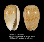 Gibberula pulchella