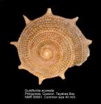 Guildfordia aculeata