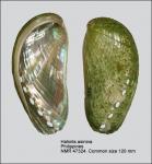 Haliotidae